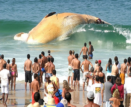 http://www.reallyfunnypictures.co.uk/animals/pics/23.02.06/beachedwhale.jpg