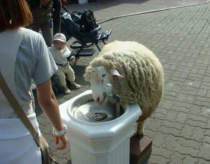 http://www.reallyfunnypictures.co.uk/animals/pics/25.08.07/sheepwaterfountain.jpg